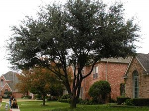 Full Pruning Of Live Oak