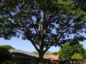 Red Oak Pruned