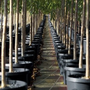 Container Grown Trees For Sale