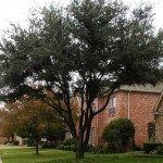Live Oaks Dropping Leaves Prematurely