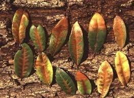 Leaves with oak wilt