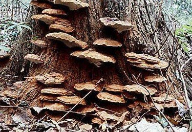 What Causes Conks And Mushrooms On Trees
