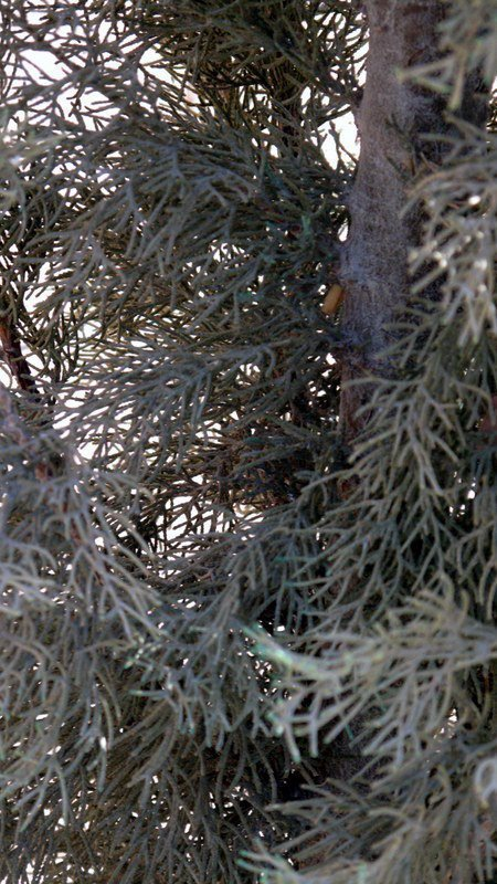 Spider Mites and Conifer Trees