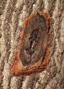 oak wilt spores