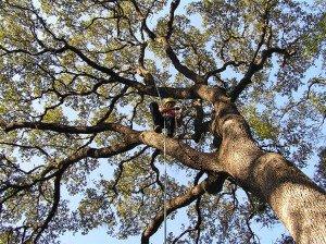 Live Oak Tree Trimming In Progress
