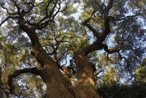 Live Oak Being Trimmed In Round Rock