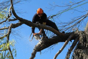 Tree Pruning Taking Place in Georgetown, Tx